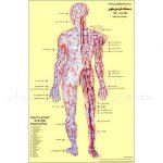پوستر-دستگاه-گردش-خون-انسان