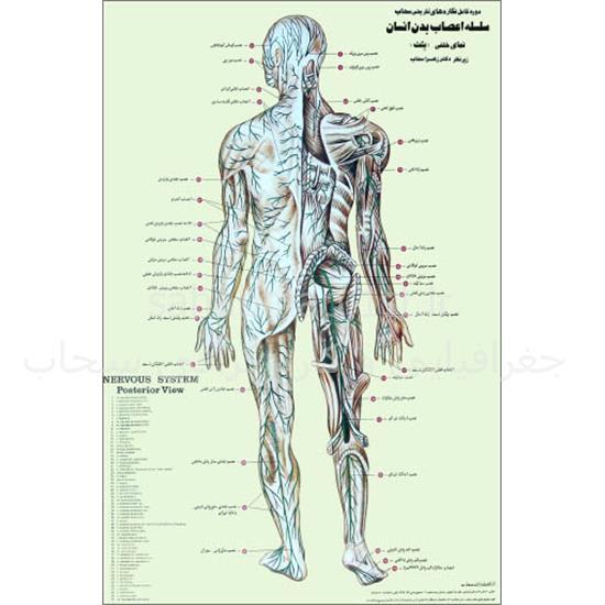 پوستر-سلسله-اعصاب-بدن-انسان
